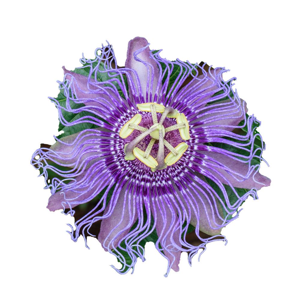plantones de flor de la pasiflora - donde comprar en espana